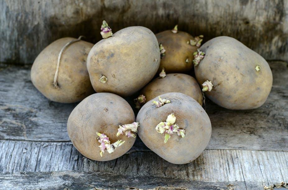 لهذا السبب.. احذر تناول البطاطس الخضراء القديمة