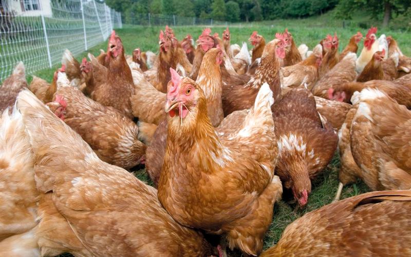 «البيئة» تحظر استيراد الطيور الحية من روسيا