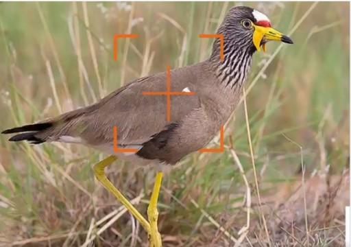 تسجيل أول ظهور لطائر القطقاط الأفريقي في دبي