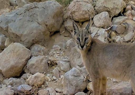 بالصور.. بيئة أبوظبي تكتشف وجود 4 حيوانات منقرضة