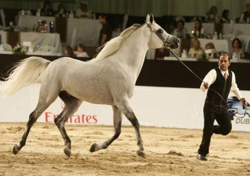 اليوم.. انطلاق بطولة الإمارات لمربي الخيول العربية في أبوظبي