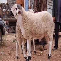 «أبوظبي للرقابة الغذائية» يحدّد 10 صفات لأضحية العيد