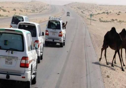 وفاة معتمرين أردنيين إثر اصطدام حافلتهما بالجمال السائبة بتبوك