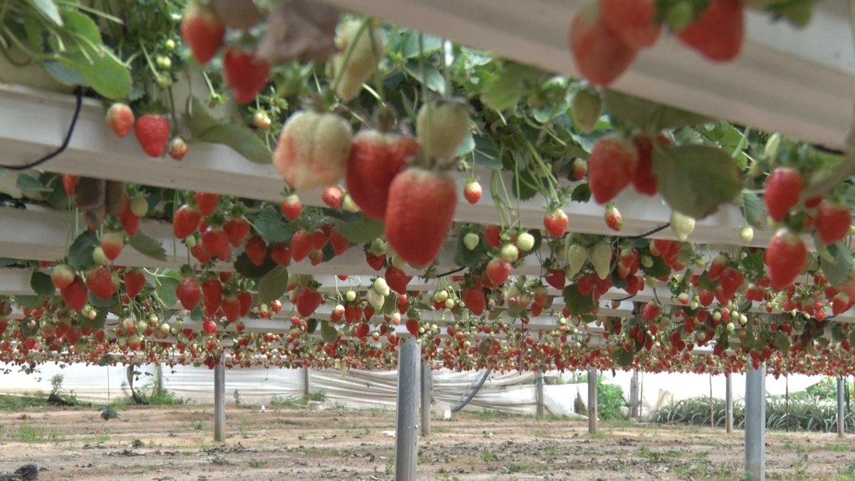غزة تصدر أول شحنة فراولة إلى الكويت لتحسين أوضاع المزارعين