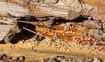 دراسة: النمل الأبيض لديه جهاز شبيه بنظام الملاحة لاستشعار الخطر