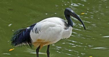 طائر الدرونجو يسرق الطعام بخدع بارعة