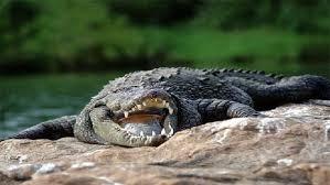 امرأة وزنها 120 كيلوغرام تقع على تمساح فتصيبه بجروح