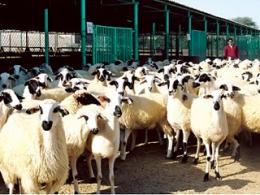 1,210 مليون رأس من الأنعام الثروة الحيوانية في الإمارات