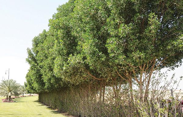 بلدية أبوظبي تحذر من زراعة أشجار الداماس لخطورتها على أساسات المباني