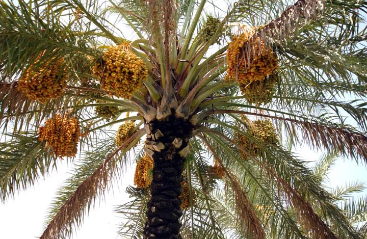 «خرف الرطب» تباشير الصيف وفرحة الفرجان