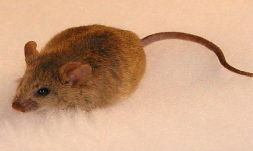فأر يرعب أسرة سويدية اسبوعاً كاملاً