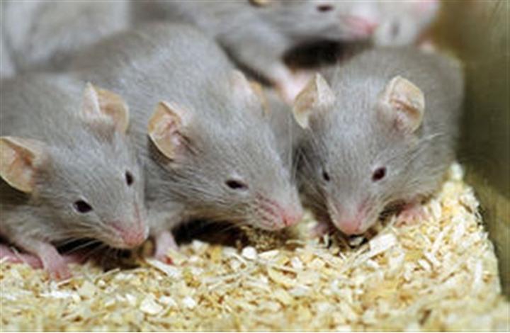 بعد طرده من منزله .. أمريكي يطالب برعاية 300 فأر