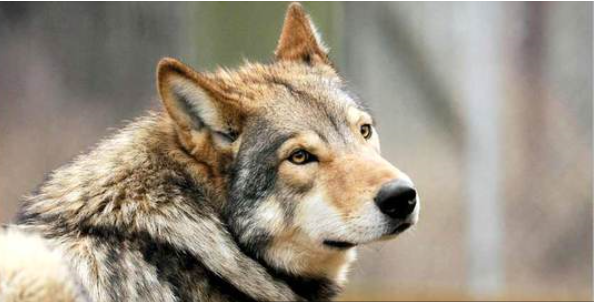 ذئب يزعج سكان بناية في عجمان