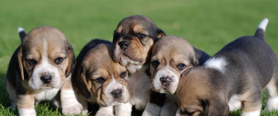 بأمر تريزا ماي.. منع بيع الكلاب الصغيرة في بريطانيا إلا بحضور أمهاتها