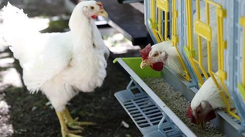 الدولة تحظر استيراد الطيور الحية من بلجيكا لهذا السبب