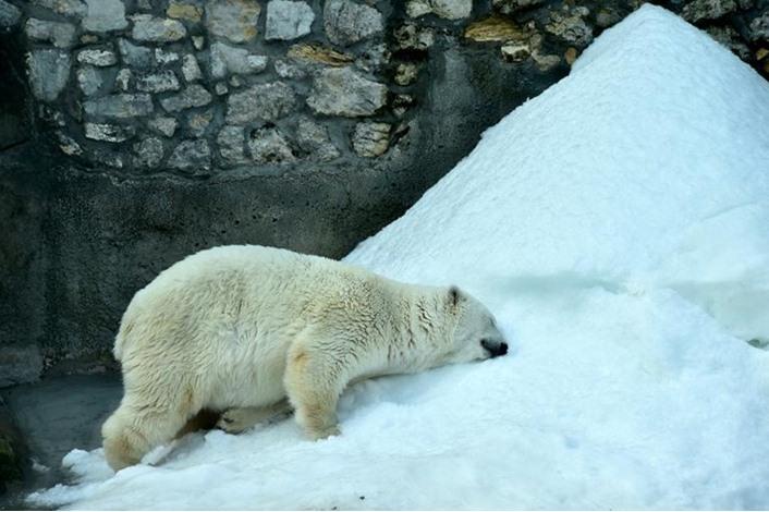 وفاة آخر دب قطبي أبيض في أفريقيا